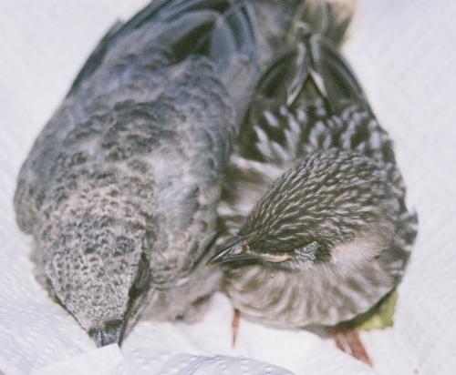 Wattle Bird and Friend