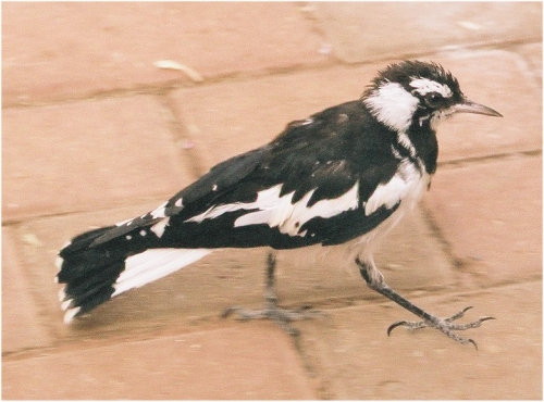 Peewee Male