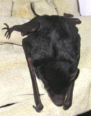 Sheathtail bat
