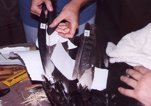 Inserting the new L9 feather into the broken feather